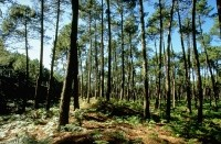Pine bark extract may boost endothelial function in at-risk people