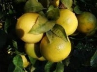 Research supports bergamot's benefit in fatty liver disease, manufacturer says