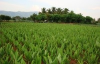 Sabinsa is vertically integrated in its supply of turmeric raw material. Photo: Sabinsa Corp.