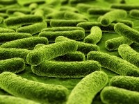 EpiCor was found to boost growth of beneficial bacteria in the the simulator of the intestinal microbial ecosystem