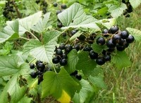 Blackcurrant nectar shows exercise benefits for college students: Study