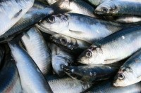 Omega-3-rich fish intake during pregnancy may boost birth weight for babies: European data