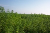 Industrial hemp cultivation. Creative Commons image