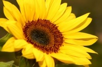 The Dr Organic line advertises vitamin E derived from sunflowers. Image © iStockPhoto / InspiredFootage
