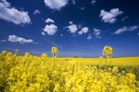 'Timely findings': Canola oil offers blood sugar management potential for diabetics