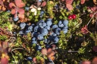 The study used extracts from lowbush blueberries (Vaccinium angustifolium Ait.). Image © iStockPhoto / Incomel