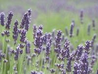 Lavender oil is one ingredient that appears both as an essential oil and as a dietary supplement.