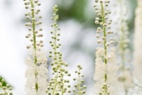 Black cohosh has been the subject of an in-depth review by the Botanical Adulterants Program