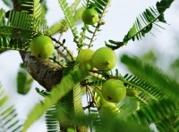 Indian gooseberry (amla) extracts show anti-inflammatory and blood flow benefits