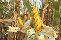 Hi-Maize resistant starch is a type of dietary fiber derived from a variety of corn that is high in amylose starch. This type of starch is resistant to digestion and acts like fiber in the human digestive tract. Image: © iStockPhoto